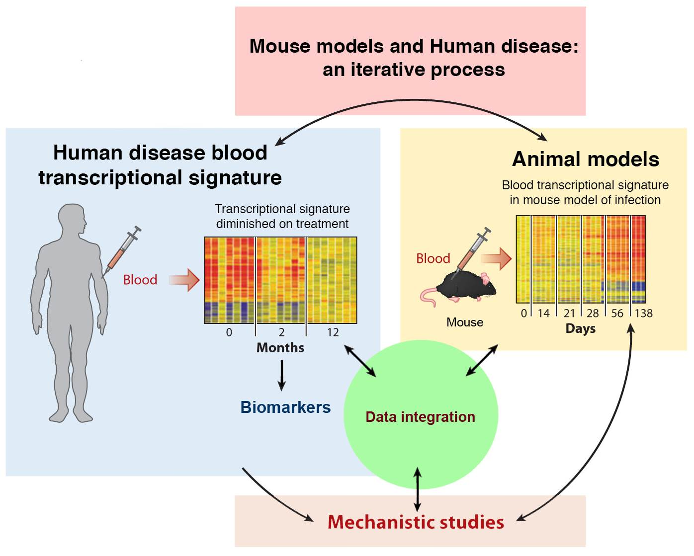 Proposed humanized mice model for respiratory diseases