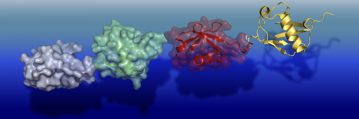 Two different representations of tetra-ubiquitin - a molecular 'tag' used to mark proteins inside cells.