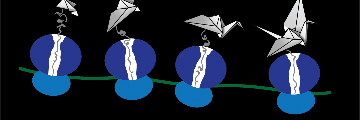 A cartoon of protein folding during translation at the ribosome.