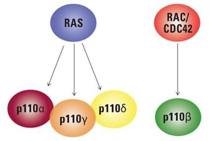 Differential interaction of RAS and RHO subfamily GTPases with different type I PI3K isoforms.