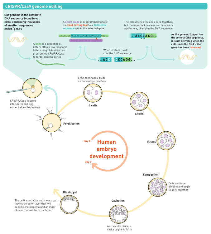 Infographic explaining CRISPR/Cas9 genome editing and human embryo development.