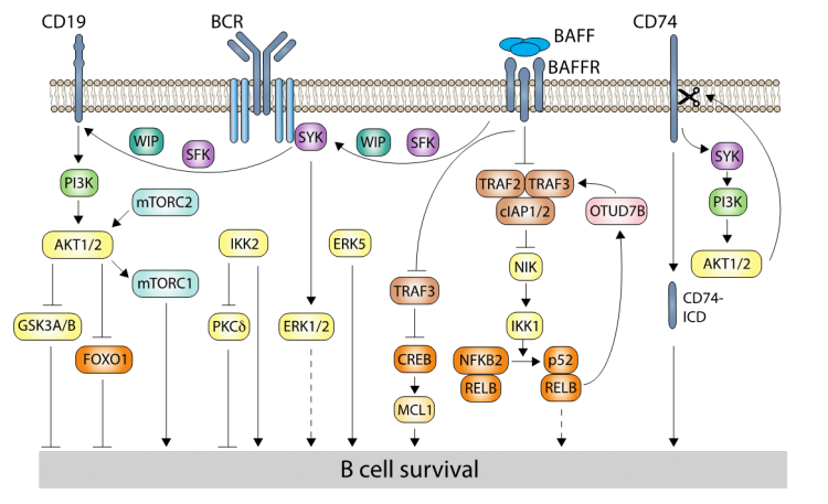 We are studying how signalling pathways control B and T cell development.