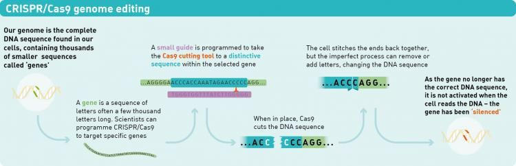 Infographic for how CRISPR works