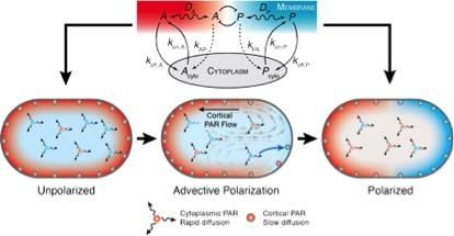 A model for advective polarization of a self-organizing PAR chemical network.