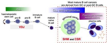 B cell development and cancer