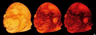 'Virtual dissection' of a E14.5 mouse embryo head.