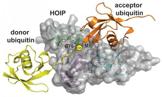 LUBAC is a multi-subunit RBR E3 ligase that synthesizes linear ubiquitin chains with high specificity.