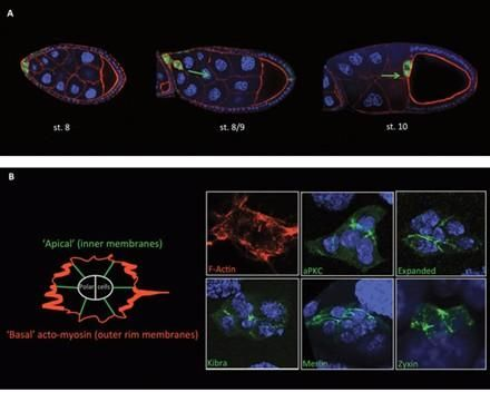 Invasive migration of Drosophila border cells.