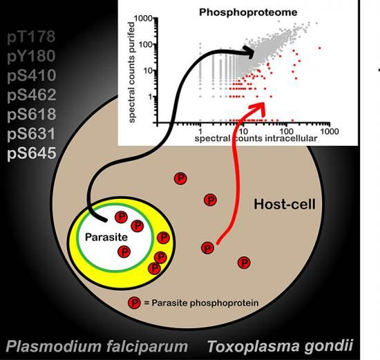 How do Plasmodium falciparum and Toxoplasma gondii regulate their own exported proteins?