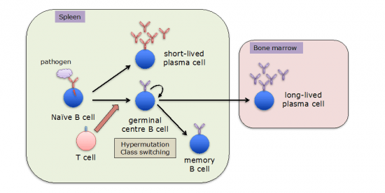 Differentiation of B cells following activation.