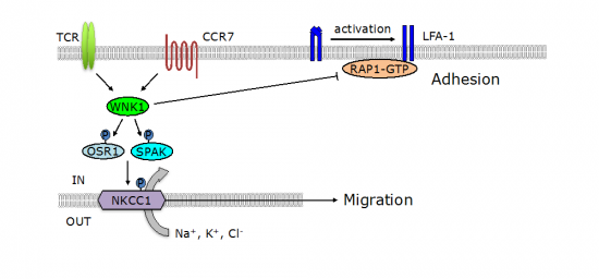 B and T cell migration and adhesion.