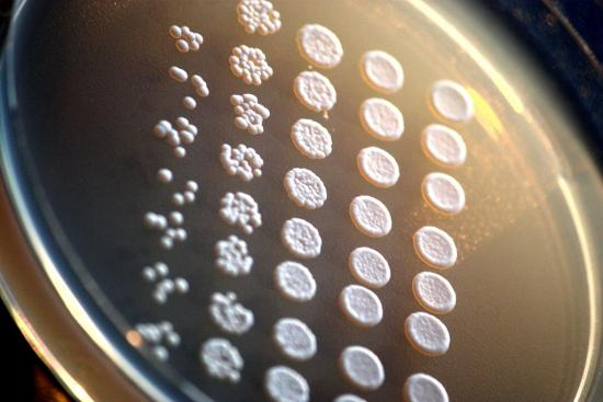 Brewers yeast on an agar plate