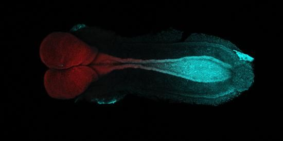 Developing mouse embryo