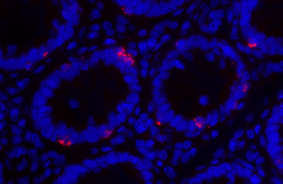 Gut Gamma Delta T cells detected by their expression of TCR delta chain RNA (red) line the human colonic epithelium (DAPI; blue) where they are well-placed to perform frontline immune surveillance.