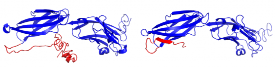 Image shows predicted 3D structures of full-length, transmembrane PD-L1 (left) and soluble PD-L1 (right).