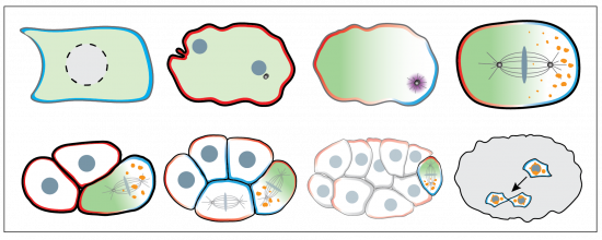 PAR polarity regulates a series of asymmetric divisions in the C. elegans embryo