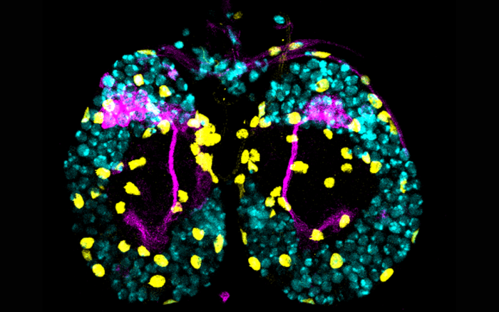 The brain of a fly larva showing in blue all the neurons, in yellow all of the support cells (glia) and in purple the neurons transmiting odour information to memory centers.