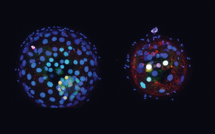 Fluorescent images showing gene expression in two early human embryos, with colours representing gene expression.